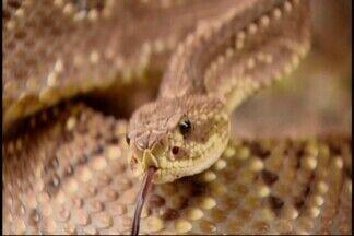 'TV Bichos' mostra voluntário de Itapecerica que captura cobras - Seu 'Zé das Cobras' ajuda centros de produção de soro antiofídico no estado.