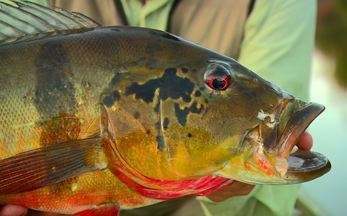 Tucunarés dão show no rio Itapará. Receita de suspiro (Bloco 03) - Peixões são fisgados em rio preservado. Pavlova é receita para toda a família.