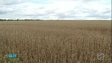 Conab divulga levantamento da safra de grãos e expectativa é otimista para exportações - O Brasil deve colher a segunda maior safra de grãos da história. Destaque para a soja.
