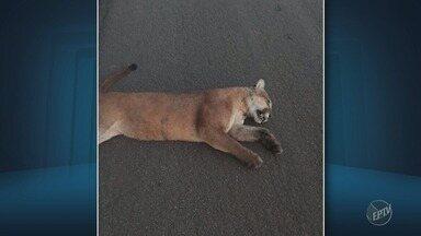 Onça é encontrada morta na Rodovia Zeferinio Vaz, na altura de Cosmópolis (SP) - Animal estava no acostamento, na altura de Cosmópolis (SP), quando o acidente aconteceu.