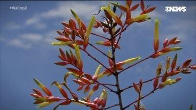 Pantanal tem plantas que podem promover uma revolução na saúde