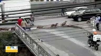 Vídeo flagra grupo de capivaras atravessando rua na Av. Barão de Rio Branco, em Petrópolis - Assista a seguir.