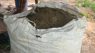 Plantação de maconha é localizada no interior do Maranhão pela polícia - Plantação de maconha é localizada no interior do Maranhão pela polícia. A operação foi deflagrada em uma região entre os municípios de Santa Luzia e Buriticupu.
