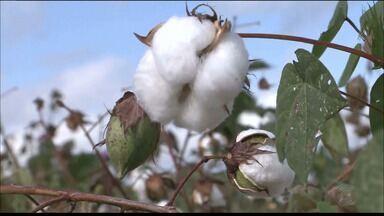 Paraíba Rural: conheça o grupo de agricultores que voltou a investir em algodão - Os algodoeiros trabalham sem agrotóxicos, voltado para um projeto familiar, em Cajazeirinhas.