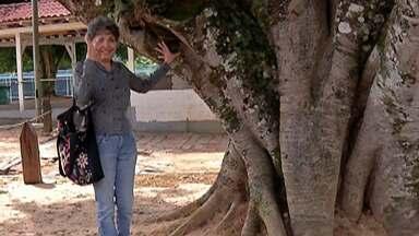 Árvore de Guararema ganha fama casamenteira - Diz a lenda que quem for pedido em namoro debaixo da árvore casa em breve.