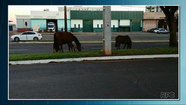 Prefeitura aperta o cerco contra animais soltos nas ruas de Londrina - Os cavalos soltos que ficam nos canteiros e terrenos pastando são os principais alvos.
