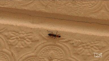 Leste do Maranhão enfrenta proliferação de 'potós' - O fim do período chuvoso, no leste do Maranhão, é sinal de que os insetos devem começar a se proliferar.