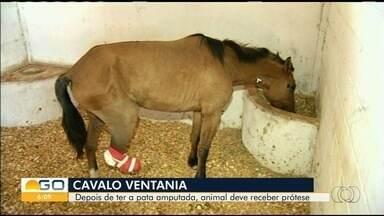 Após ser abandonado, cavalo passa por cirurgia em Anápolis - Veterinários contaram que tiveram de amputar uma pata, mas o cavalo deve ganhar uma prótese.