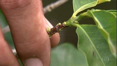 Como corrigir a deficiência de zinco na lavoura de café? - Nutriente é importante para formação de galhos e folhas.