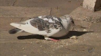 Lei municipal proíbe alimentar pombos em São Lourenço (MG) - Lei municipal proíbe alimentar pombos em São Lourenço (MG)