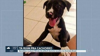 Bandidos roubam cachorro de um casal durante assalto - Akira é um filhote de pitbull que tem apenas dois meses. Crime aconteceu na Avenida Brasil