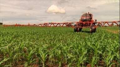 Milho transgênico suporta a aplicação de herbicidas? - Veja como controlar plantas daninhas que aparecem na lavoura, sem prejudicar o desenvolvimento do milho.