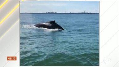 Baleia jubarte é vista na baía de Vitória (ES) - Segundo especialistas, era uma baleia de possivelmente com oito a dez metros de comprimento. Por causa da passagem de navios, a presença de animais desse porte não é comum na região.