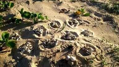 Motoristas circulam por áreas de desolva de tartarugas em Alagoas - Desrespeito pode gerar multa por se tratar de crime ambiental.