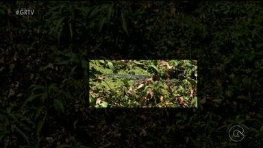 Jacarés e capivaras chamam atenção na beira do rio - Os animais tem aparecido com mais frequência