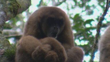 Maior macaco das Américas vive na região de Itapetininga e corre risco de desaparecer - O maior macaco das Américas vive nas nossas matas, mas corre risco de desaparecer. É um primata dócil e atrai muitos ambientalistas na luta pela preservação da espécie.