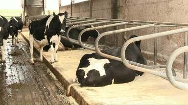 Conforto no campo: vacas relaxam o dia todo em colchões - Segundo o pecuarista, o investimento neste bem-estar animal tem ajudado a aumentar a produtividade leiteira