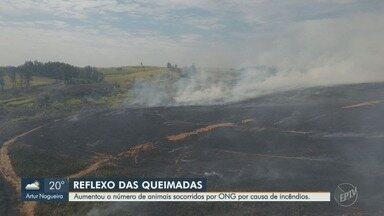 Número de animais atendidos na ONG Mata Ciliar, de Jundiaí, por conta de incêndios aumenta - Quem encontrar algum animal ferido pode avisar a Polícia Ambiental da cidade, que vai até o local para fazer o resgate.