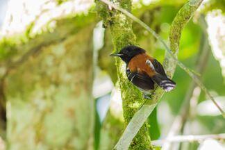 O flagrante do formigueiro-de-cabeça-negra - Paraty, ao sul do Rio de Janeiro, é casa de diversas aves famosas, mas uma em especial chama atenção, o formigueiro-de-cabeça-negra.