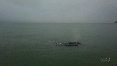 Baleias francas são avistadas no litoral do Paraná - Os animais foram vistos perto da praia.