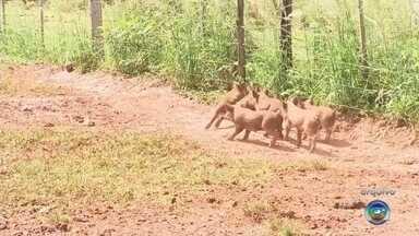Caça controlada de javalis volta a ser permitida em Araçatuba - A caça controlada de javalis voltou a ser permitida na região de Araçatuba (SP). Em junho o Governo havia proibido a caça aos animais, mas novas regras foram estabelecidas.