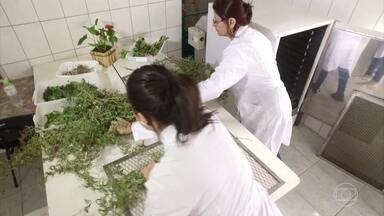 Cidade em SC usa ervas medicinais para cuidar da saúde dos moradores - Há 18 anos a rede pública de Rio Rufino passou a usar as plantas como uma alternativa de tratamento. Os remédios da Casa do Chá estão ajudando gente e também os bichos.