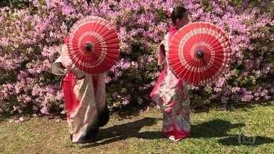Florada das cerejeiras é celebrada todo ano na comunidade japonesa de Frei Rogério (SC) - Ato de contemplar o nascimento dessas flores é uma das tradições dos antepassados. Espetáculo não dura mais do que duas semanas.