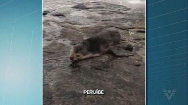 Lobo-marinho é localizado em praia de Peruíbe - Animal foi achado nas pedras da Praia do Guaraú.