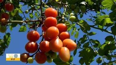 Produtores rurais de Dracena experimentam cultivo de tomate orgânico - Setor comemora bons resultados na produção.