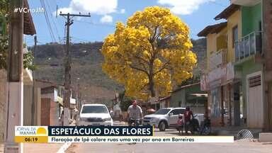 Beleza de ipês chama atenção em Barreiras, no oeste da Bahia - A árvore precisa de muita luz para florescer e a previsão é de que o sol continue brilhando na região.