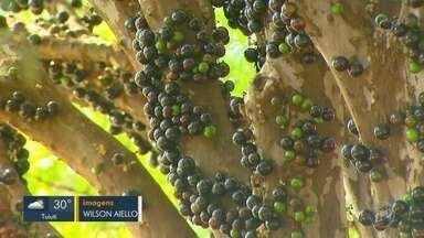 Falta de chuva antecipa florada de mais de 2 mil pés jabuticabas em Casa Branca - Por ano, 300 toneladas da fruta são colhidas na cidade.