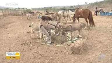 Crueldade: jumentos sofrem maus-tratos antes de abate - Uma ONG de proteção animal denunciou a crueldade em Itapetinga, na região sudoeste do estado.