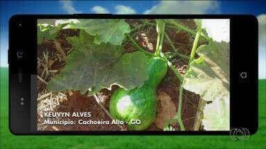 Veja fotos enviadas por telespectadores para o Jornal do Campo - Agricultor registra plantação de abóboras em Cachoeira Alta.