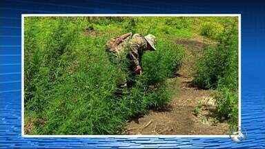 Polícia Militar realizou operação para erradicação de maconha no Sertão de Pernambuco - 330 mil pés de maconha, 149 plantios, 93 mil mudas da planta e apreender uma tonelada e duzentos quilos da droga.