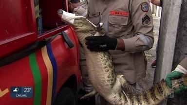 Jacaré é capturado em residência na Zona Oeste do Recife - Moradores encontraram o jacaré na garagem de casa. Bombeiros participaram da captura do réptil.