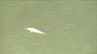 Baleia é vista nadando no Rio Tâmisa - A beluga está a centenas de quilômetros do habitat natural dela, que é o Oceano Ártico.