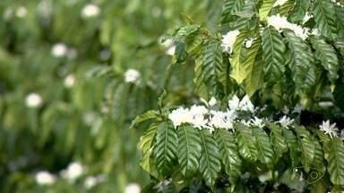 Linhares lidera com produção de conilon no ES de acordo com dados do IBGE - Os maiores produtores de café conilon em grãos verdes no estado são os municípios de Linhares, São Mateus e Rio Bananal.