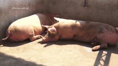 Produtor investe na qualidade da carne suína em Nova Mamoré - Objetivo é produzir carne com mais qualidade.