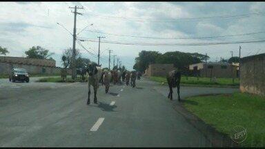 Motorista flagra bois no meio da rua no Jardim Jóquei Clube em Ribeirão, SP - Morador disse que um homem acompanhava os animais na Avenida Orestes Lopes de Camargo.
