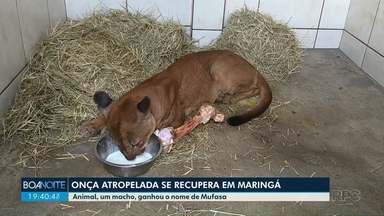Onça atropelada se recupera em clínica - O animal que é um macho adulto ficou em estado grave