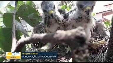 Defesa civil interdita calçada de Limeira por causa de ataque de gaviões - Aves estão protegendo ninho com filhotes e atacam pedestres que passam pelo local.