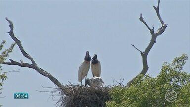 Aves do Pantanal de MS estão em período de reprodução - Quando as águas da cheia começam a baixar, é o momento das aves começaram a se reproduzir.