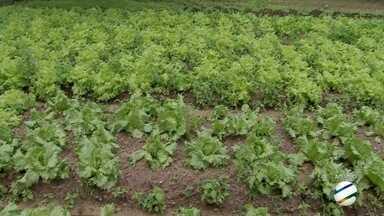 Excesso de chuva em Campo Grande tem prejudicado hortaliças - Há perdas e o preço das hortaliças subiu.