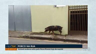Porco é flagrado nas ruas do bairro Nova Rússia, em Ponta Grossa - Dono do animal não foi identificado.