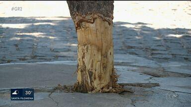 Alguns moradores cortam árvores de maneira irregular em Petrolina - O plantio pode ajudar a amenizar o calor