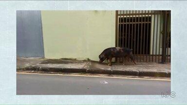 Porco é flagrado caminhando sozinho em uma rua de Ponta Grossa - O registro foi feito no bairro Nova Rússia.