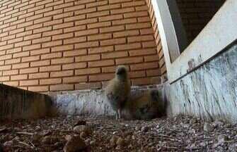 Família de urubus - Há quatro anos casal de urubus constrói ninho na janela de casa em Campinas (SP).
