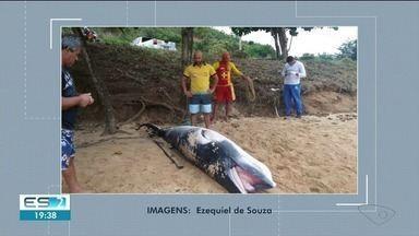 Filhote de baleia é encontrado morto em praia no Sul do ES - Especialista acredita que ele se separou da mãe.