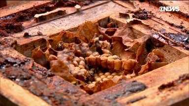 Criador de abelhas por hobby ajuda na preservação de espécies nativas