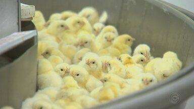 Aumento do consumo da carne de frango faz crescer a produção de ovos fertilizados - O grande consumo de carne de frango no brasil além de aumentar a criação de aves, faz crescer também a produção dos chamados ovos fertilizados. São ovos produzidos especificamente para serem chocados. E a demanda é tão grande que em Itapetininga há empresas que criaram galinhas só para a produção de ovos.